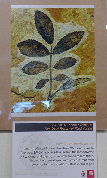 Images of plant fossils by XTBG display at the conference: Rosa sp. leaf